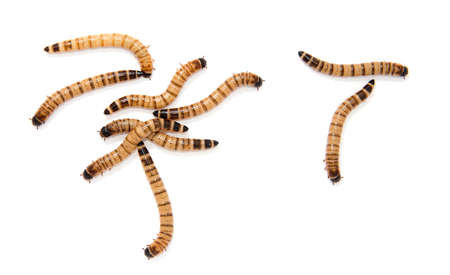 mealworm: beetle larvae on a white background Stock Photo