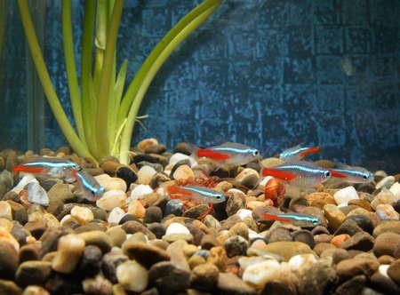 freshwater aquarium plants: beautiful little fish in an aquarium Stock Photo
