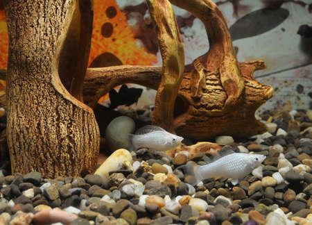 two white fish in the aquarium photo