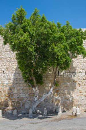 tree against a stone wall in Bethlehem