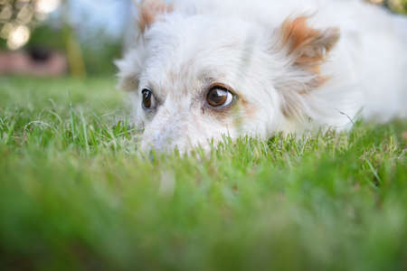 white dog lying on green grass