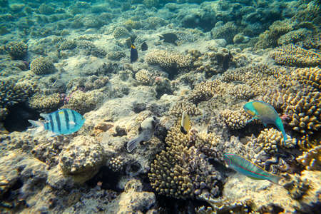 beautiful and diverse coral reef with fishes of the red sea in Egypt, shooting under water