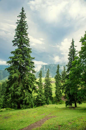 the beautiful forest landscape in the  mountains with the pine trees