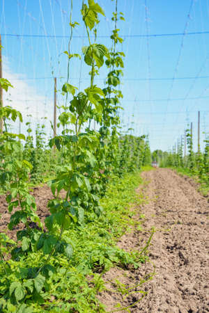 Growing hops. Field of young hops. Stock Photo