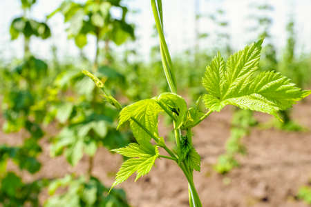 Growing hops. Young green hops on the plantation Stock Photo