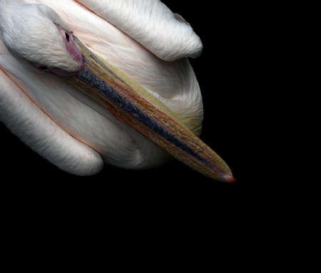 pelikan: Pelican sitting - top view on to a sitting pelican