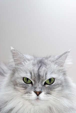 Persian Mix - persian, silver shaded mixed breed portrait photo