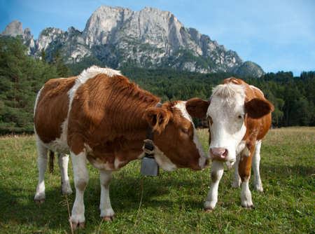 calf cow: Two female, young Simmentaler dairy cows on a pasture.