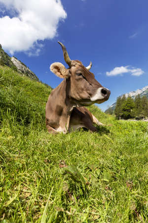 dairy cow: A beautiful dairy cow taking a break from grazing simply lying in the grass