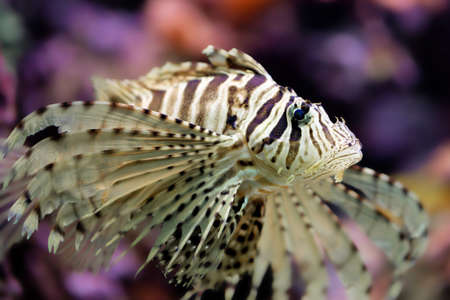 pterois volitans: Beautiful red lionfish Pterois volitans in his coral reef. Stock Photo