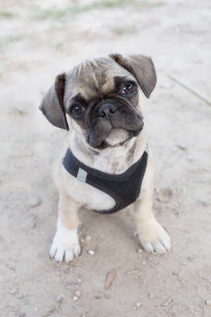 curiously: French bulldog and pug mixed breed puppy looking curiously at the camera Stock Photo