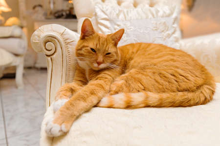 luxurious: Orange tabby cat having a relaxing rest on some luxurious furniture