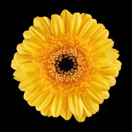 yellow blossom: Blossom of a Gerbera with yellow petals over black background