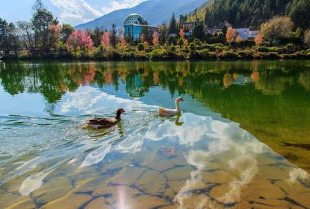 freely: Geese swim freely