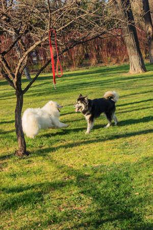 perros jugando: Dos perros jugando juntos  Foto de archivo