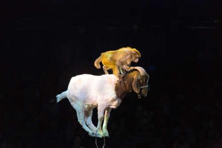 acrobatics: A monkey riding on a sheep and performing acrobatics