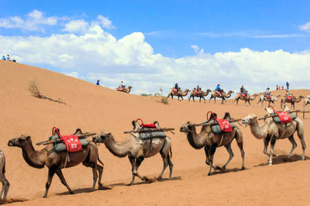 Camels in the desert is the main means of transport Editorial
