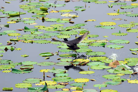 water birds: Running on the surface of water birds Stock Photo