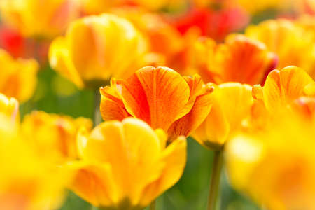 eternity: Blooming tulips