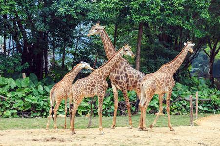 Preciosa jirafa Foto de archivo
