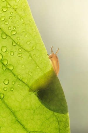 Snail on green leaf with dew drops