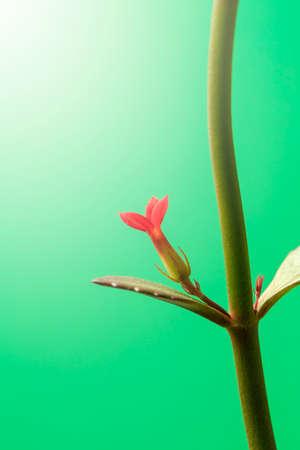 Longevity flower (Kalanchoe blossfeldiana)