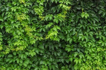 Boston ivy plants background