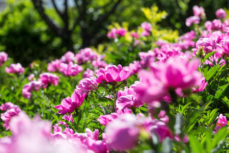 Peony flowers in the park Stock fotó