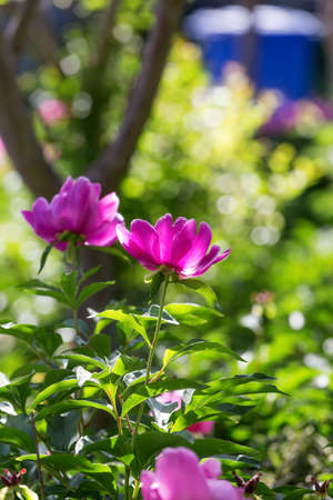 Peony flowers in the park
