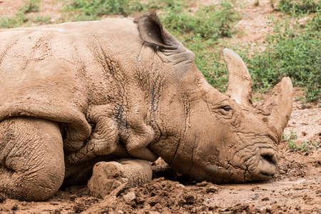 A rhinoceros in the mud