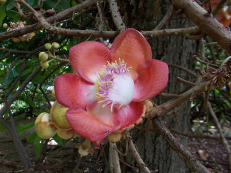monkey nut: Flower of the Cannonball tree, native of India.  The name cannonball derives from the large round fruits the tree produces., in the shape of a cannon ball and as large as a cannonball.  The fruits are edible.