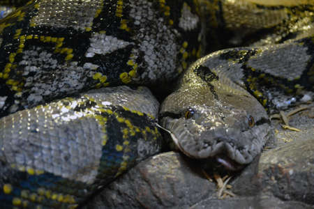 reticulated: Reticulated Python Snake