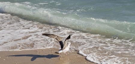 Seagull ready to take off on a sandy beach photo