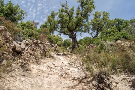 mediterranean forest: A dry and dusty Mediterranean trail leading up a mountain to a tree on a hot summer day.
