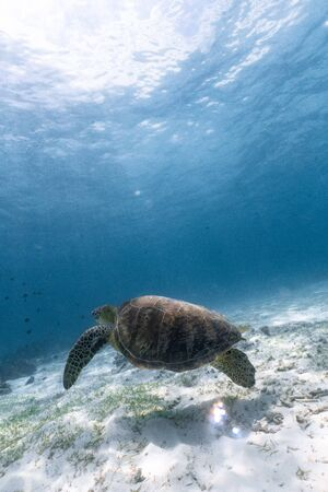 Green sea turtle swimming gracefully in a sandy seabed. Stock Photo