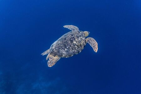 Green sea turtle (chelonia mydas) swimming gracefully in the deep blue.