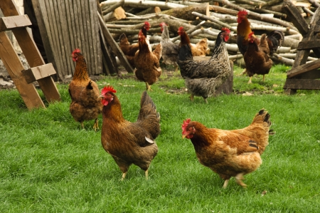 Chicken on the farm photo