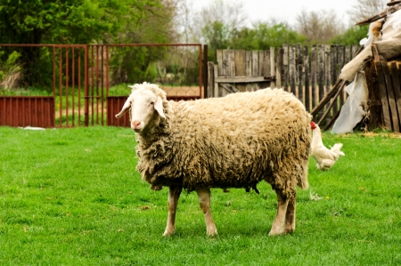 feathered: Sheep and chicken
