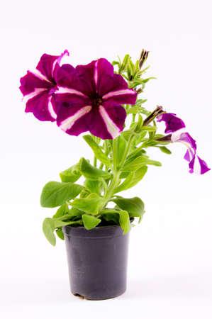 Petonija flower isolated on white photo