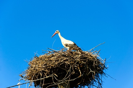Stork in its nest over a clear sky photo