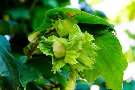 hazelnut tree: Raw hazelnut tree Stock Photo