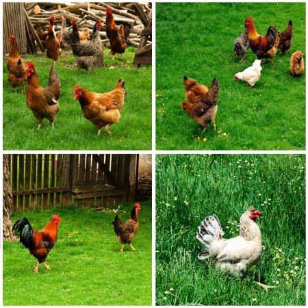Chicken on the farm collage photo