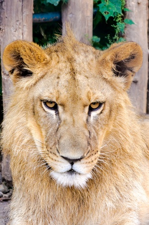 Grumpy lion head in the zoo photo