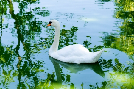 Elegant white swan swimming photo