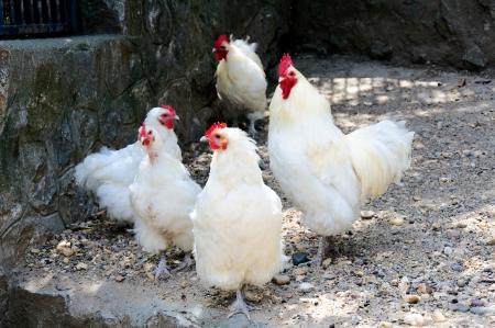fertility emblem: White chickens on the farm Stock Photo