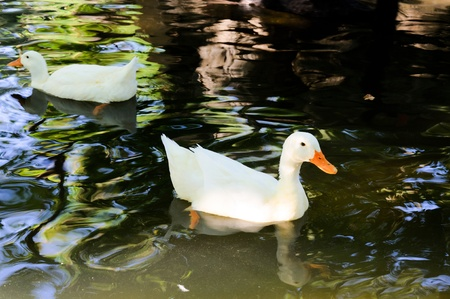 Couple of ducks swimming in pond photo