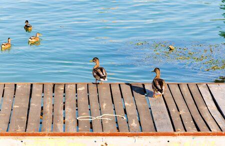 Ducks in Belgrade swimming in Sava river Stock Photo - 14800575