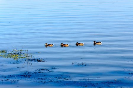 Cute ducks swimming in the river  photo