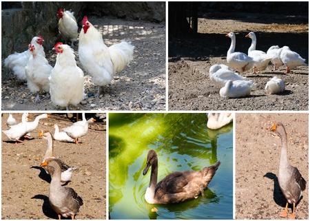 Aves collage Foto de archivo - 15136004