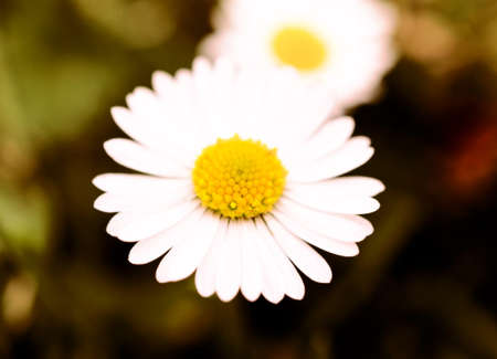 Macro shoot of daisy flower. Selective focus in the middle of flower photo